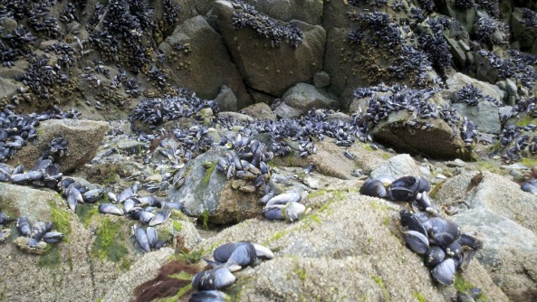 Mussels waiting for the tide to come back in