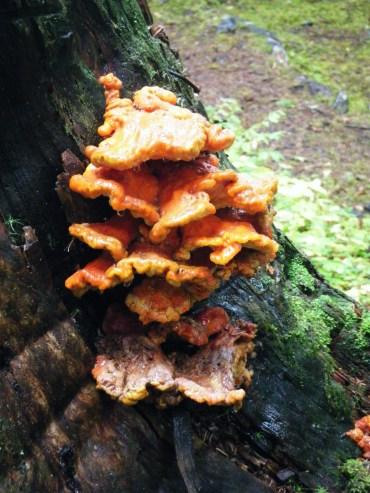 Orange conk (Southeast Alaska)