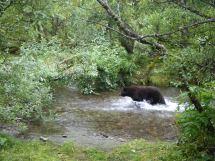 Black bear chasing the salmon!