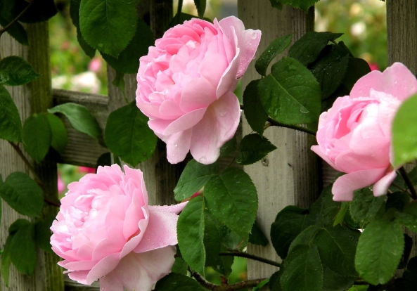 pink_roses_flowers_and_fence-other
